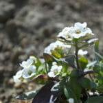 道端で見つけた白い花