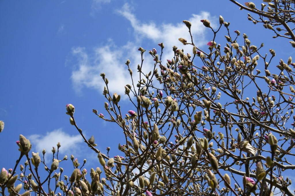 春を感じるつぼみ