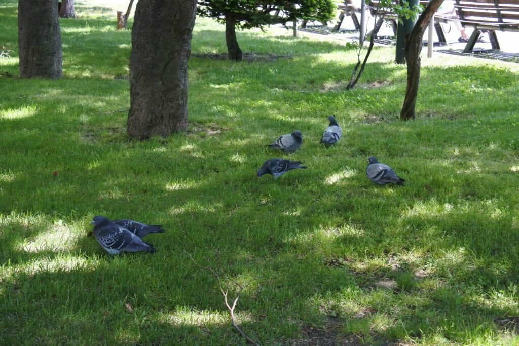 ちょっとひと休み-鳩たちの休息