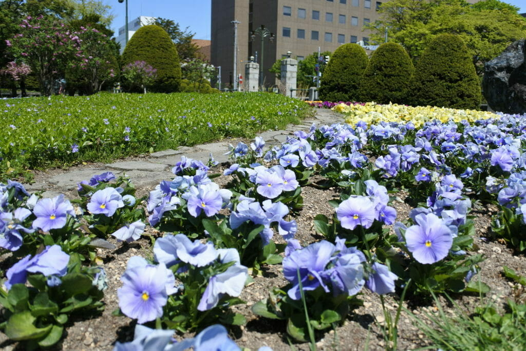 春の札幌市資料館敷地内に咲く花