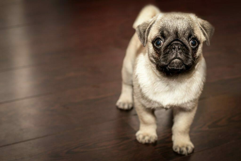 可愛い犬-パグ